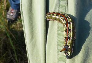 Hornworm from Ethiopia