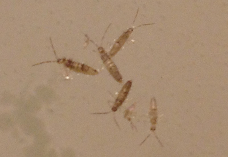 How To Identify Springtails | FAQS About Springtails