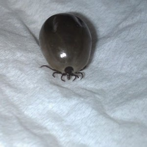 Blood Engorged Tick