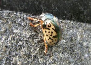 Leaf Beetle:  Calligrapha species