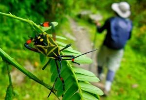 Immature Leaf Footed Bug