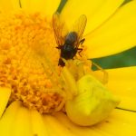 Crab Spider Eats Fly