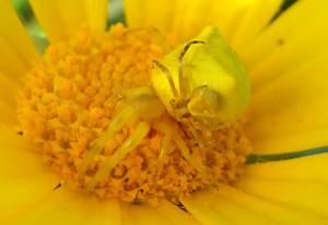 Crab Spiders Mating