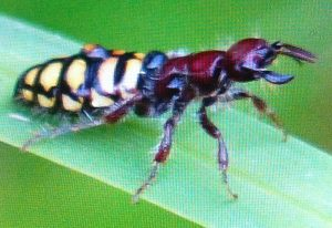 Flightless Female Flower Wasp:  Thynnus species