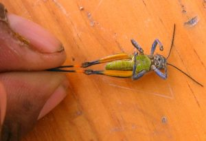 Grasshopper from Oaxaca