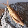 Shieldback Locust