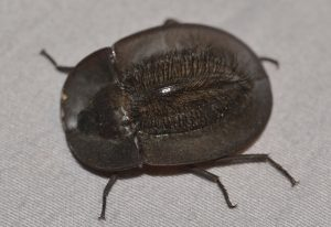 Hairy Backed Pie Dish Beetle