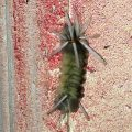 Possibly Florida Tussock Moth Caterpillar