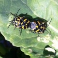 Mating Harlequin Stink Bugs