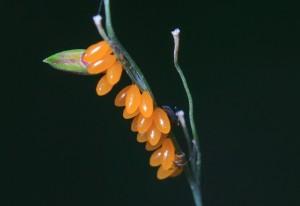 Ladybird Beetle Eggs