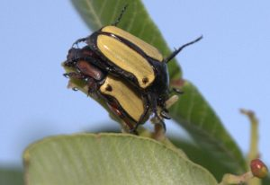 Mating Scarabs