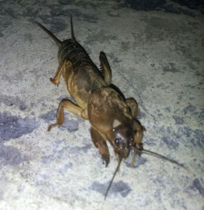 Mole Cricket