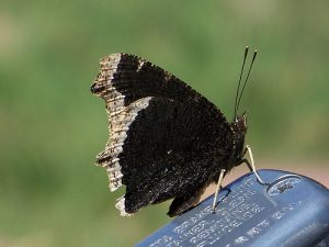 Mourning Cloak on a Motorcycle