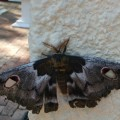 Large Eyed Emperor Moth