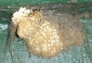 Flightless Female Tussock Moth with Eggs