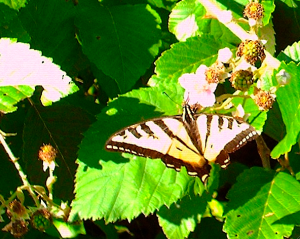 Possibly Western Tiger Swallowtail