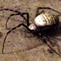 Lost Female Banded Argiope