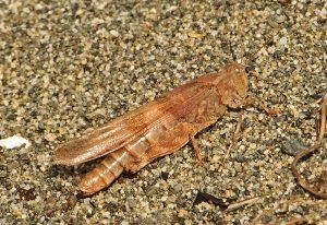 Band Winged Grasshopper:  Trimerotropis pallidipennis-b