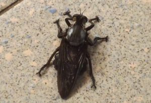 Robber Fly: Blepharotes species