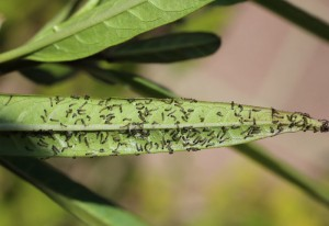 Hatchling Caterpillars