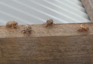 Cicada Exuviae