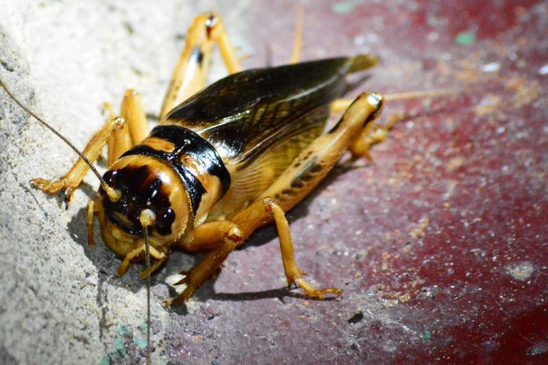 Cricket from South Africa is Raaskriek - What's That Bug?