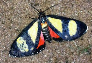 Possibly Diurnal Tiger Moth