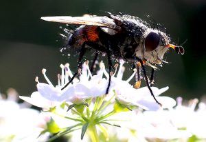 Looks like a Tachinid Fly to us