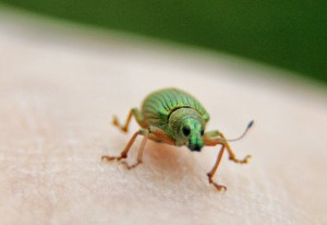 Green Immigrant Leaf Weevil