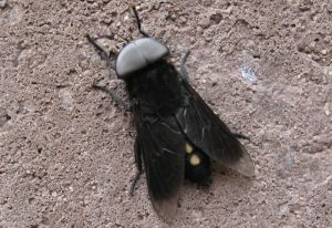 Male Horse Fly