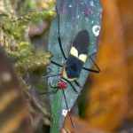 Leaf Footed Bug:  Hypselonotus atratus