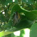 Messy Leaf Curling Spider