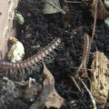 Millipedes in Potted Plants