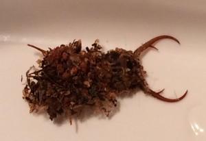 Camouflaged Neuropteran Larva:  Owlfly, Antlion or other???