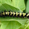Brushfooted Butterfly Caterpillar