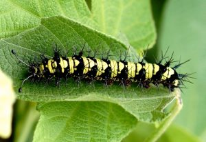 Brushfooted Butterfly Caterpillar