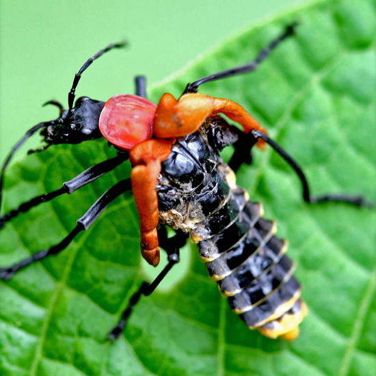 soldier beetle from costa rica with bad molt whats that