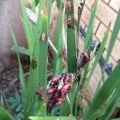 Aggregation of Red Bugs