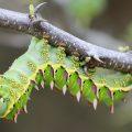 Giant Silkworm