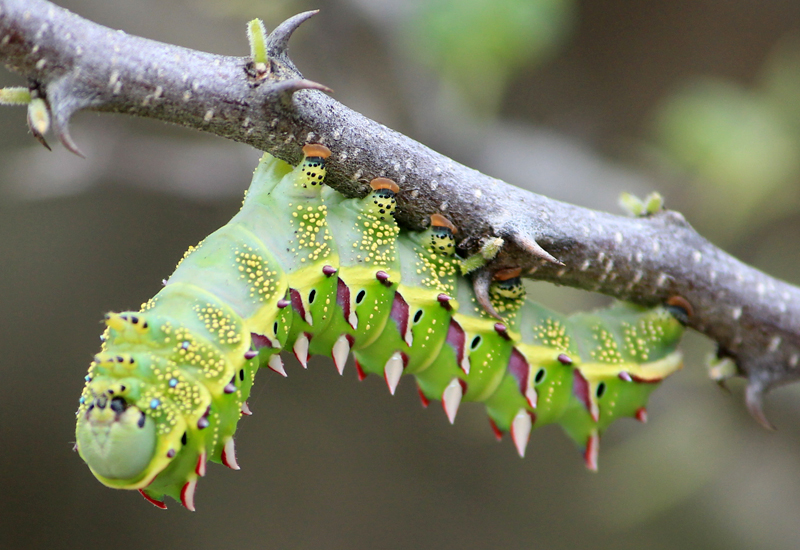 Marbled Emperor Caterpillar From Namibia What S That Bug