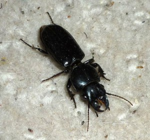 Big Headed Ground Beetle, we believe