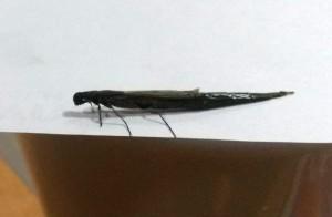 Ship Timber Beetle