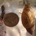 Snail From Florida