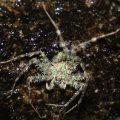 Malaysian Spider