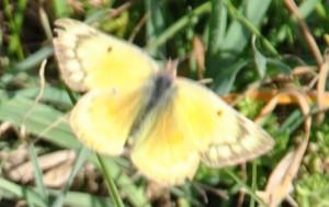 Alfalfa Butterfly