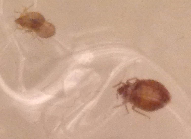 Bed Bug Infestation - What's That Bug?