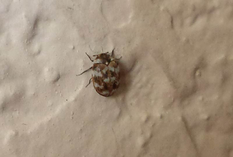 Variegated Carpet Beetle. Pantry Beetles  Grain Weevils  Spider Beetles  Meal Worms and