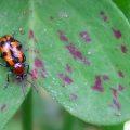 Leaf Beetle:  Crioceris bicruciata