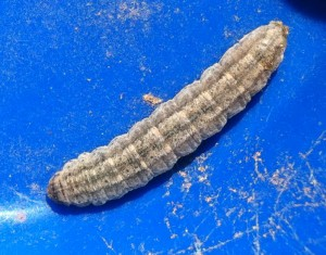 Probably a Cutworm