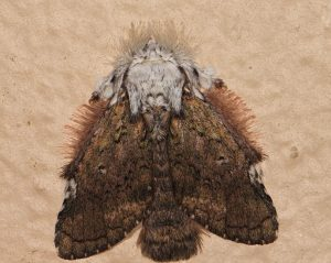 Furry Mexican Moth